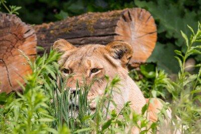 Fototapete Löwin im Gras