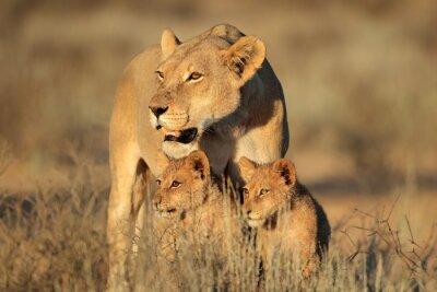 Fototapete Löwin mit jungen Löwenjungen (Panthera leo) im frühen Morgenlicht, Kalahari Wüste, Südafrika.