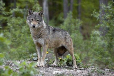 Fototapete lupo grigio