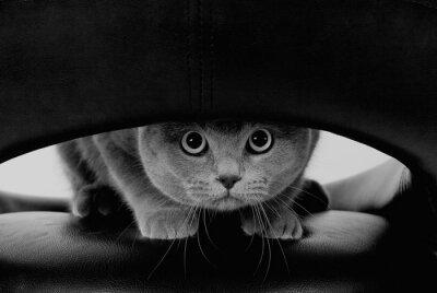 Fototapete Lustige schottische Katze mit großen runden Augen, die durch ein Loch (in Schwarzweiss, Retro Art)