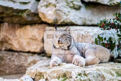 Lynx couché sur un rocher