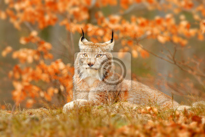 Fototapete Lynx in orange autumn forest. Wildlife scene from nature. Cute fur Eurasian lynx, animal in habitat. Wild cat from Germany. Wild Bobcat between the tree leaves. Close-up detail portrait.