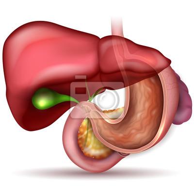 Magen querschnitt anatomie und umliegenden organe schöne bunte ...