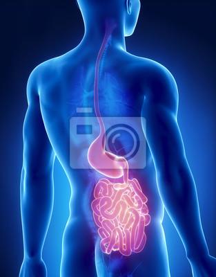 Magen und darm männliche anatomie posterior x-ray-ansicht fototapete ...