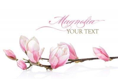 Fototapete Magnolia Blume auf weißem Hintergrund