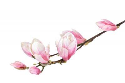 Fototapete Magnolia-Blume-Zweig auf einem weißen Hintergrund
