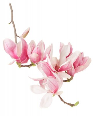 Fototapete Magnolia, Frühling rosa Blume Zweig und Blüten auf weißem, Beschneidungspfad
