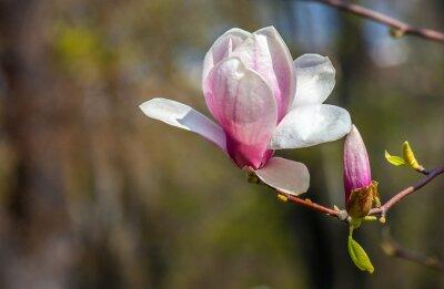 Fototapete Magnolien-Blume.