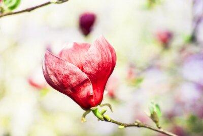 Fototapete Magnolienbaum Blüte