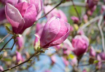 Fototapete Magnolienblüten