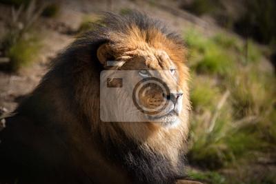 Majestätischer männlicher Löwe