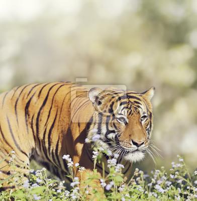 Malaiischer Tiger-Mann