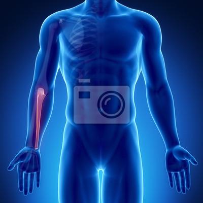 Male bone anatomy ulna fototapete • fototapeten Ellenbogen, x-ray ...