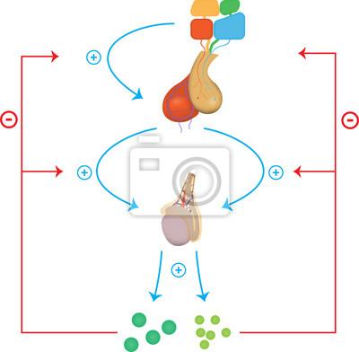 Male hypothalamic pituitary gonadal axis fototapete • fototapeten ...