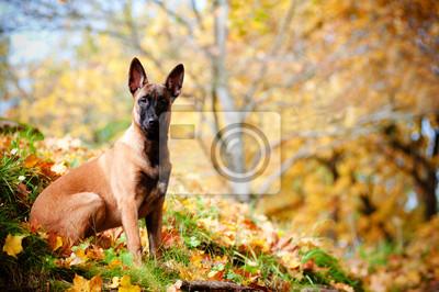 Malinois Belgischer Schäferhund Herbst Porträt
