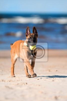 Malinois Belgischer Schäferhund mit einem Tennisball