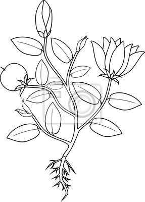 Malvorlage Pflanze Mit Blüten Blättern Früchten Und Wurzelsystem