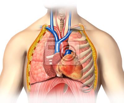 Man anatomie thorax cutaway mit herz mit den wichtigsten blutgefäße ...