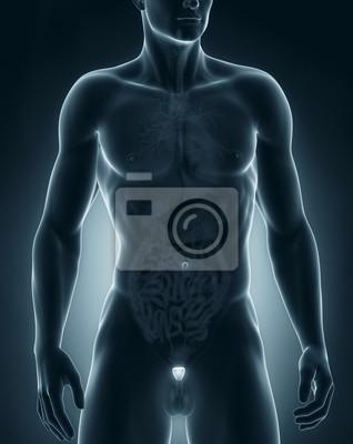 Man prostata anatomie vordere ansicht fototapete • fototapeten ...