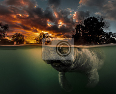 Fototapete Manatee surfacing in 3 Sisters Spring at sunrise.  This manatee actually photobombed me when I was shooting this over/under dawn shot.