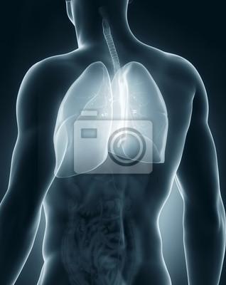 Männlich atmungsorgane anatomie rückansicht fototapete • fototapeten ...