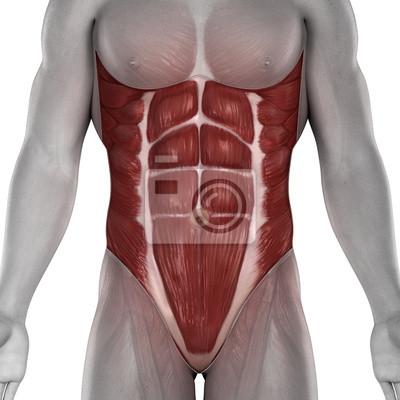 Männlich bauchmuskeln anatomie isoliert fototapete • fototapeten ...