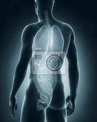 Männlich organe anatomie rückansicht fototapete • fototapeten ...