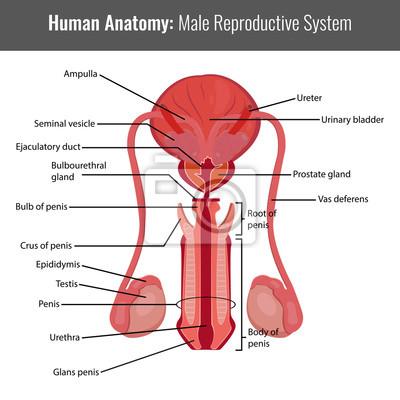 Männliche fortpflanzungssystem detaillierte anatomie. vektor ...