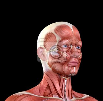 Männliche gesicht muskeln anatomie fototapete • fototapeten medicals ...
