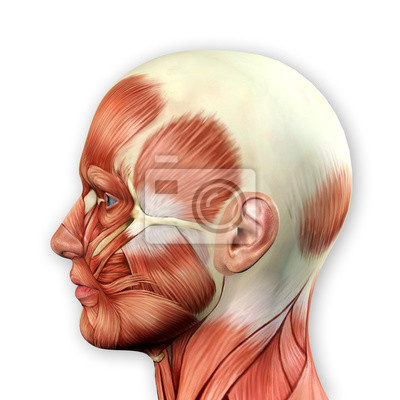 Männliche gesicht muskeln anatomie fototapete • fototapeten ...