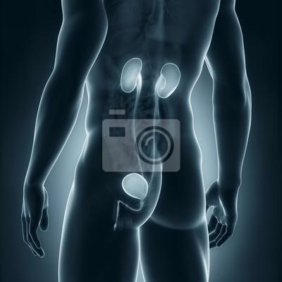 Männliche harnwege anatomie posterior ansicht fototapete ...