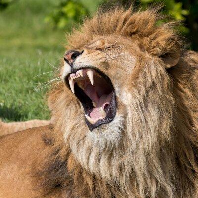 Fototapete Männliche Löwen mit einem Gähnen
