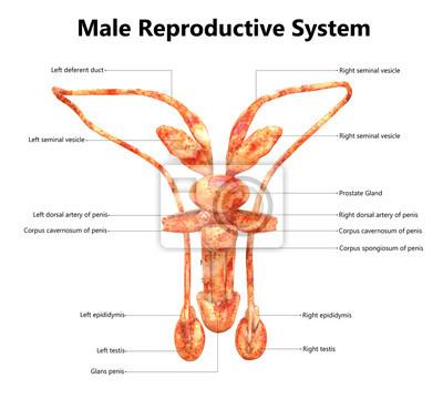 Männliche reproduktionssystem anatomie (detaillierte etiketten ...