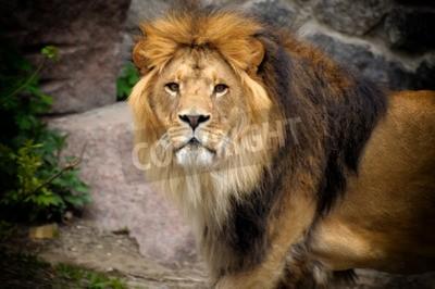 Fototapete Männlicher Löwe, der oben auf den Felsvorsprung schaut