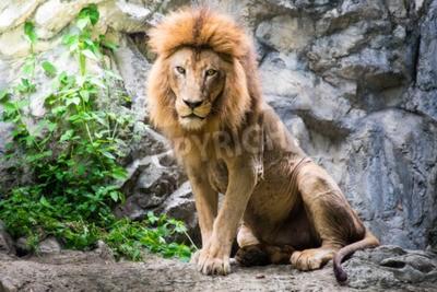 Fototapete Männlicher Löwe liegt auf dem Felsen