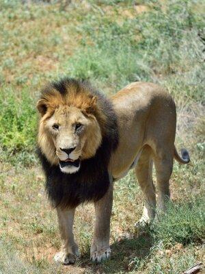 Fototapete Männlicher Löwe, Namibia