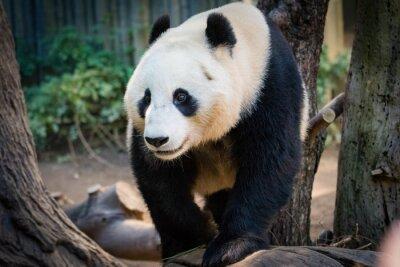 Männlicher Panda