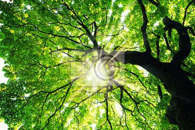 Fototapete Maple tree with sunbeams
