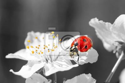 Marienkäfer Auf Der Weißen Blume Schwarz Weiß Bild Fototapete