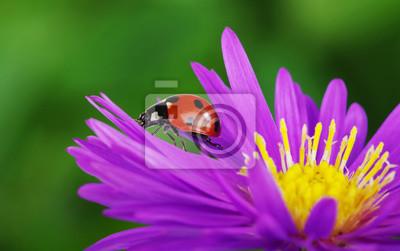 Marienkäfer Und Blume Fototapete Fototapeten Marienkäfer Käfer