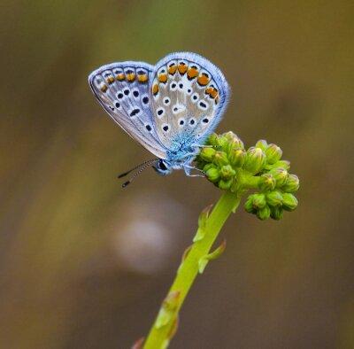 Fototapete Mariposa azul en la flor