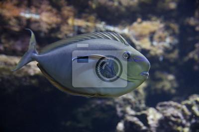 Masken Nasendoktorfisch Naso Vlamingii Vlamingi Nasendoktorfisch