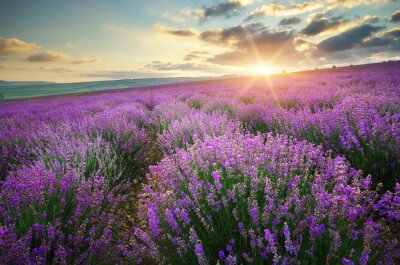 Fototapete Meadow of lavender.