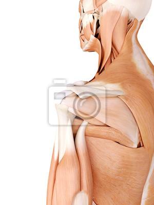 Medizinisch genaue anatomie illustration - schultermuskulatur ...