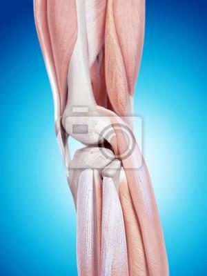 Medizinisch genaue darstellung der knieanatomie fototapete ...