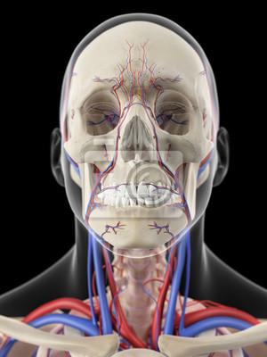 Medizinisch genaue darstellung der venen und arterien des kopfes ...