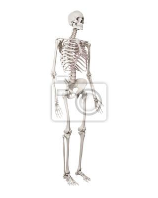 Medizinisch genaue darstellung des menschlichen skeletts fototapete ...