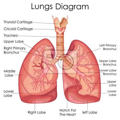 Medizinische ausbildung diagramm der biologie für lungen diagramm ...