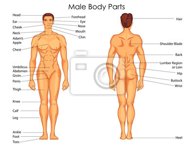 Medizinische ausbildung diagramm der biologie für männliche ...
