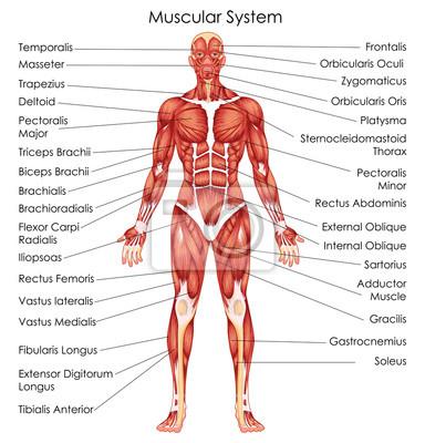 Medizinische ausbildung diagramm der biologie für muskulatur ...